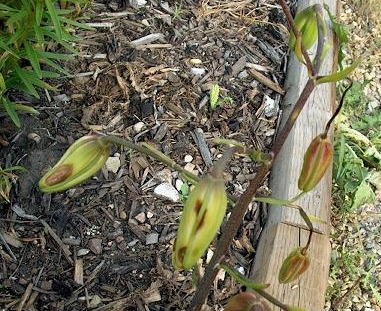 Почему у лилии коричневые листья